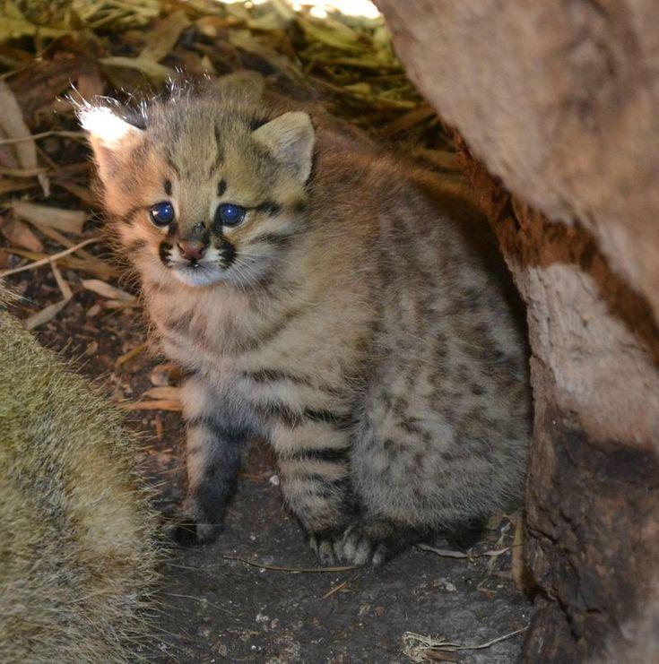 Pampas Cat Kitten!!!