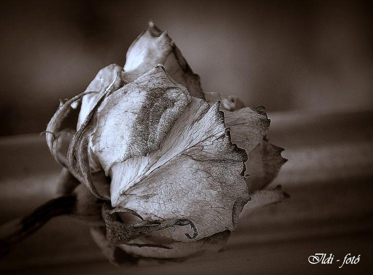 Elszáradt Rózsa - Ildi fotó