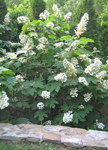 Hydrangea quercifolia / Oakleaf Hydrangea -Snow Queen is great in full shade **planted 5/14**