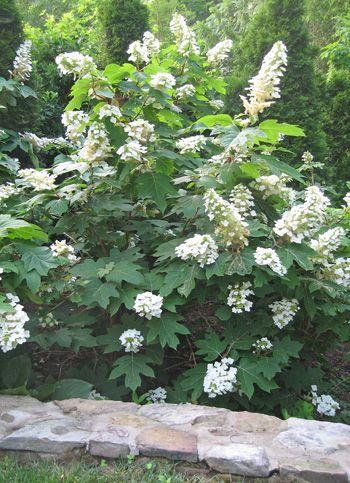Hydrangea quercifolia / Oakleaf Hydrangea -Snow Queen is great in full shade **planted 5/14**