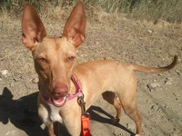 Sara: A tiny Podenca of 8 kilos.  Sweet and loving. 1 year old.  Vaccinated, chip, passport, sterilised.  An experienced home required.