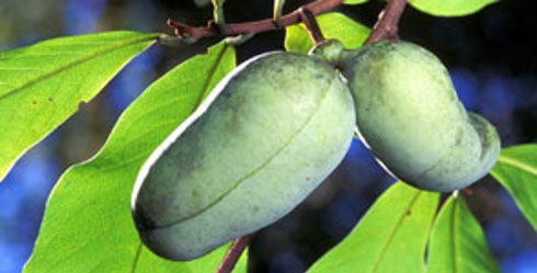 The Pawpaw Tree Is Widely Distributed Growing Wild In 26