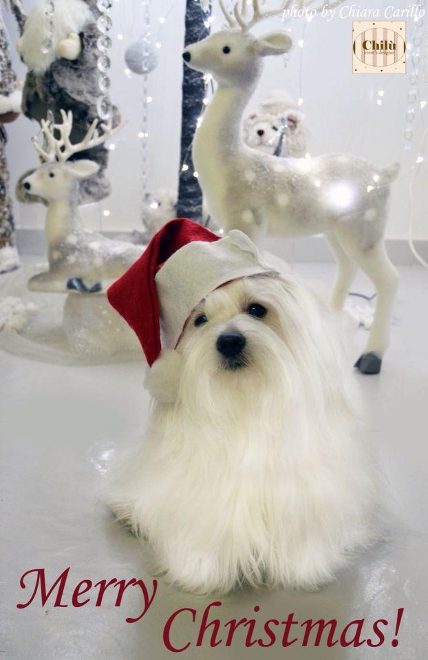 Merry Christmas da Chloe' coton de tulear!
