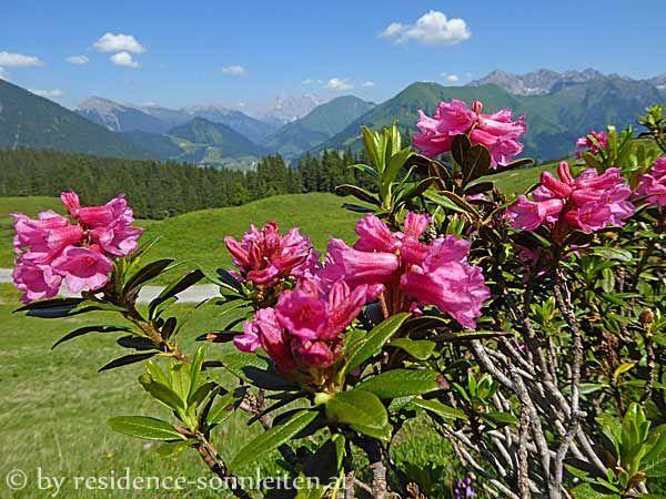 Alpenrosen - Rhododendron ferrugineum - auf den Weideböden zwischen Ehenbichler Alm und Raaz-Alpe