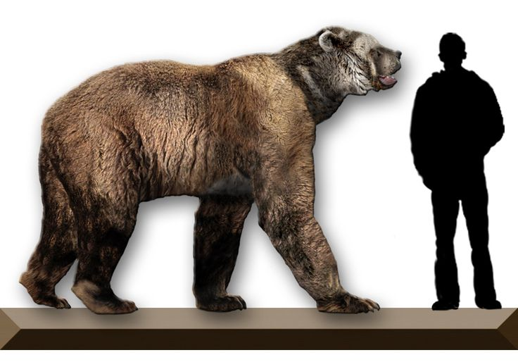 size of giant short faced bear, Arctodus simus, compared to a human. I have to say I am glad we don't have these running loose.