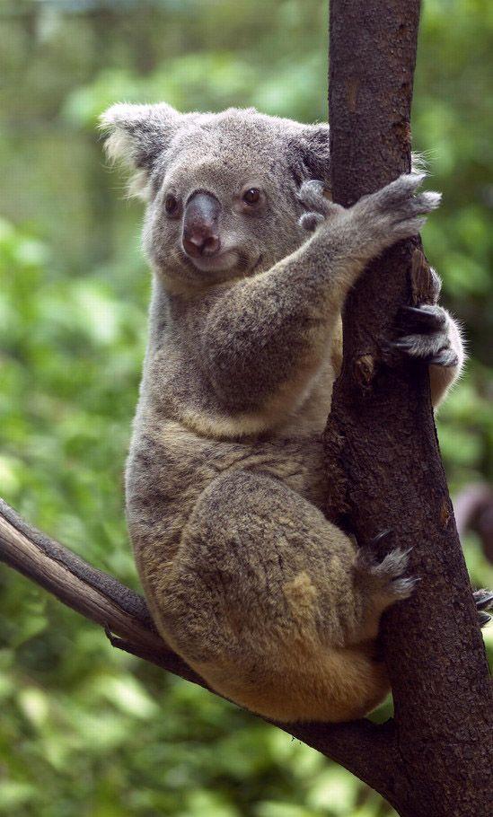 Port Douglas, Australia (held a Koala bear  :) #koala #australia Australian Discount Club support koalas http://www.kangadiscounts.com/