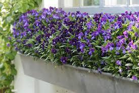 blomster til altankasser