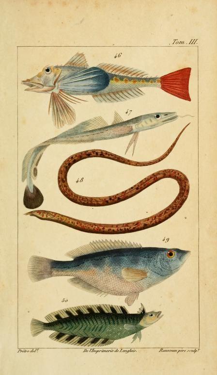 Histoire Naturelle des Principales Productions de l'Europe Méridionale, Antoine Risso, 1826. #nature #fish #scientific #illustration