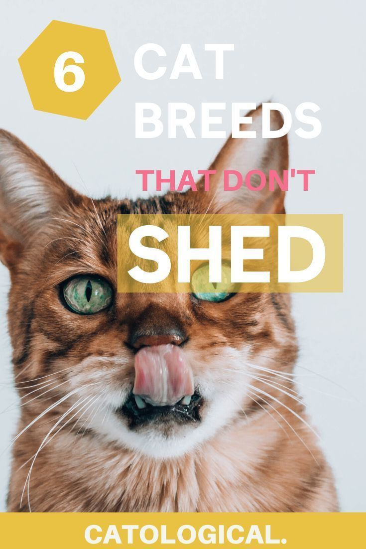 Top 6 Cat Breeds That Don T Shed That Much Is There Such A Cat In 2020 Cat Breeds Cat Parenting Cat Quotes Funny