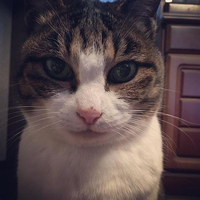 証明写真。 #cat#catstagram  #ねこ#にゃんこ#愛猫 #おばあちゃんねこ #ハチワレ #証明写真風  コタツで寝返りをうったら、 この真顔の方がいました…