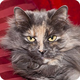Toronto, ON - Domestic Longhair. Meet Opal a Cat for Adoption. - My foster cat