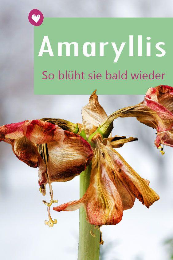 Amaryllis Verblüht Das Sollten Sie Tun Tipps Amaryllis Plant