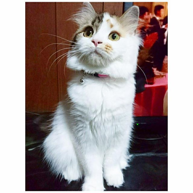 美にゃん😻ちゅうくんママ@yumi.912 さんから#statisticschallenge の#自己紹介バトン いただきました!😬💕ありがとうございます😺😺😺 今回はわいの#愛猫 で💖  ①名前♡こまち ②性別♡おんにゃのこ♀ ③ニックネーム♡こま.こまたん  ④年齢♡7ヶ月 ⑤生年月日♡2016年9月3日 ⑥猫種♡マンチカン(足長) ⑦毛色♡キャリコ ⑧性格♡やんちゃ.気強い.餌欲しい時甘える.気まま.ツンデレ.他のにゃんずが優しいからこまちの天下(笑).まさに甘やかされたお姫様👸 ⑨好きな人♡1番は自分と思いたいw.ティーダ(多分).クラウド(確実).キキ(こまちが一方的に近づいて甘えようとするけど逃げられてるw)  長々見てくれた人ありがとうございます🙇💖バトンはここに置いておくのでどなたか拾ってやってください💖  #マンチカン#キャリコ#猫#子猫#7ヶ月#猫好き#親バカ#ペコねこ部#みんねこ#にゃんだふるらいふ#癒し #cat#cats#munchkin#calico#kitten#kittycat#lovecat#picneco