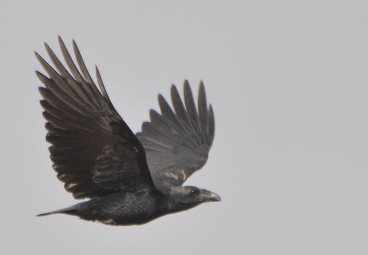 crows and ravens | Fan-tailed Raven (Corvus rhipidurus) a bird flying by the camera