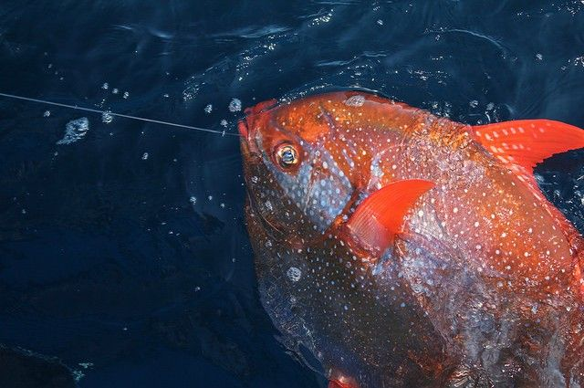 Researchers Reveal The First Warm-Blooded Fish | IFLScience  ~ The Opah or Moonfish