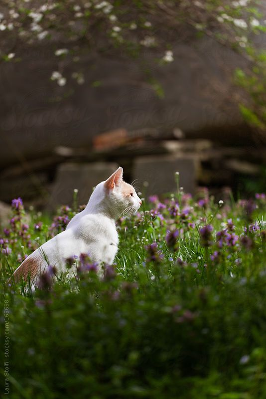 White cat in blossoming meadow