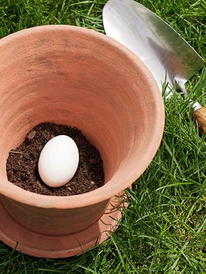 "Fill pot with 2"" of soil then place one uncracked raw egg in the pot. As it decomposes, it will serve as a natural fertilizer."