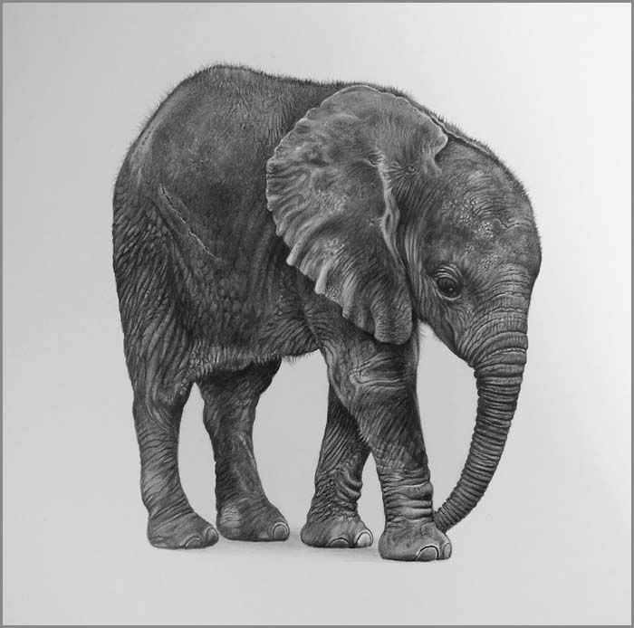Best Wildlife Images On Pinterest Drawings Limited Edition - Stunning drawings of endangered wild animals by richard symonds