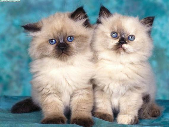 blue eyes!! beutyful kittens
