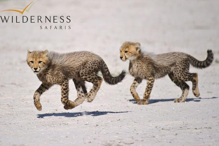 Chitabe Lediba - the high numbers of prey species supports a very healthy population of predators. #Safari #Africa #Botswana #WildernessSafaris