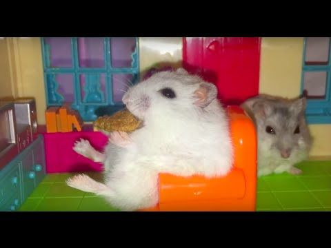 Happy Hamsters and their Hamillion-dollar Hamansion! :p - YouTube