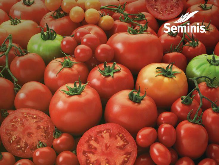 #Tomates cherry, bola y saladette de excelente color y frescura. #Seminis