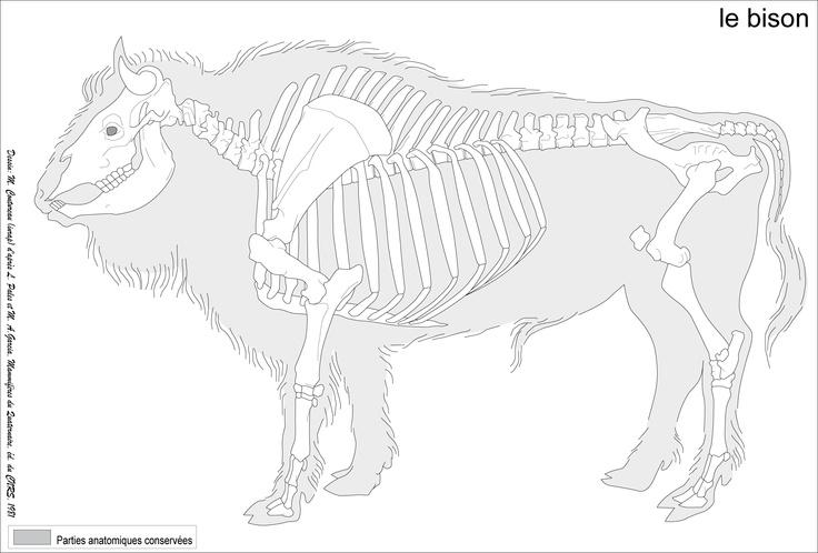 Bison bison AKA tatonka (NOT A BUFFALO!)