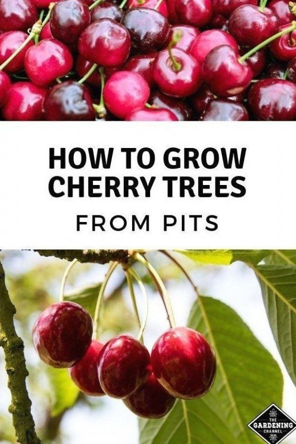 How To Grow Cherry Trees From Pits Gardening Channel Growingfruits Fastgrowing Growingfruit Fruitbu In 2020 How To Grow Cherries Growing Cherry Trees Cherry Tree