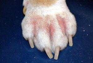 alergia cachorro
