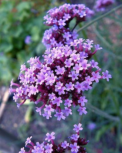 Purpletop Vervain 'Finesse' (Verbena bonariensis)