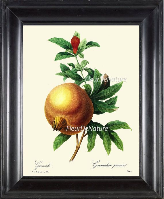 Fruit pomegranate print r5 wall art beautiful antique for Pomegranate interior design decoration