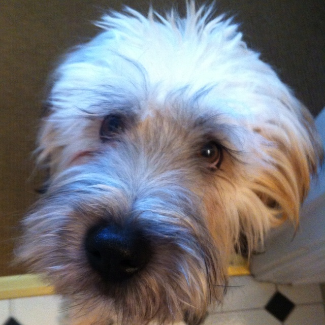 95 Best Images About Wheaten Terrier Freeway S Breed On