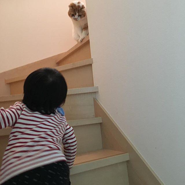 #ロミオとジュリエットごっこ . . 母ちゃん、、この人ロミオやない🙀😾 なスコさんでした😹😹😹 * * * #スコティッシュフォールド #立ち耳スコ #立ち耳 #スコ殿 #ふわもこ部 #スコ兄さん #scottishfold #catstagram #instacat #ilovecat #🐈 #😽 #cat #愛猫 #だいすき #ブヒブヒ倶楽部  #にゃたきちたん❤️元気玉届け隊