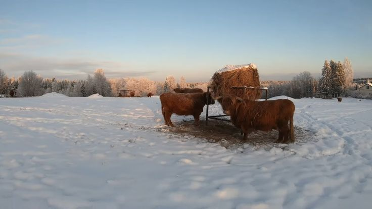 Scottish Highland Cattle In Finland: Cows at the snowy pasture 21st of December 2018 TimeWarp 2x – #21st #2x #Cattle #Cows #December #Finland #Highland #pasture #Scottish #snowy #Timewarp #xfinland