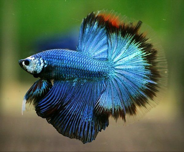 214 best beta fish images on pinterest betta beautiful for What type of water do betta fish need