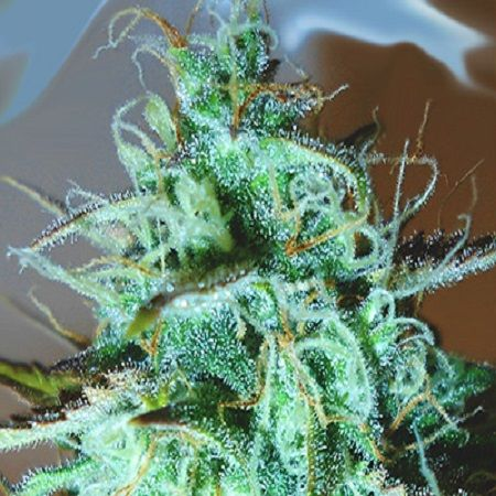 This Indica dominant strain is the result of crossing three amazing phenotypes that offer amazing yield.