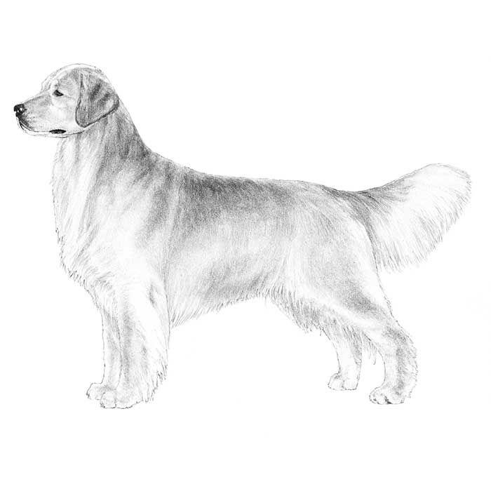 Breed standard illustration of the Golden Retriever.