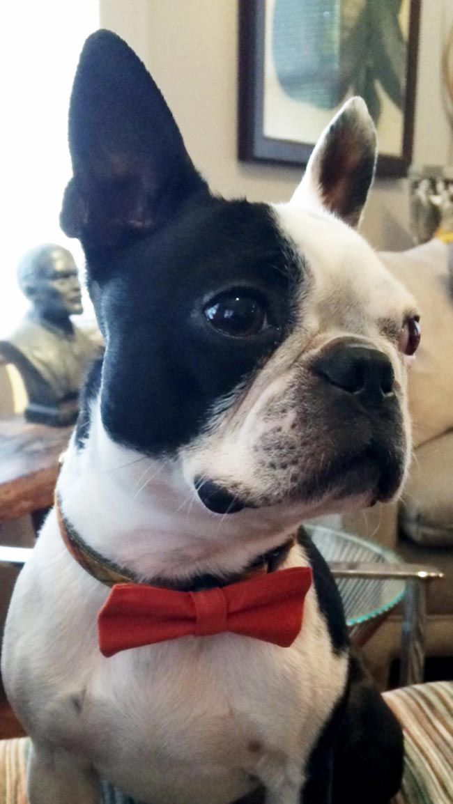 boston terrier dog names 2 years old boston terrier named gatsby looking elegant 8057