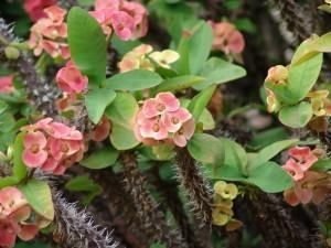 Coroa de cristo (Euphorbia milii)