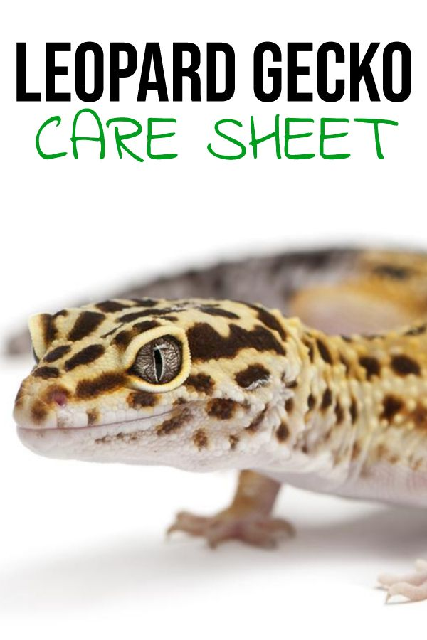 Leopard Gecko Care Sheet Provided By Reptifiles In 2020 Leopard Gecko Leopard Gecko Care Leopard Gecko Food