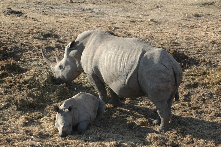South African White Rhino and her baby