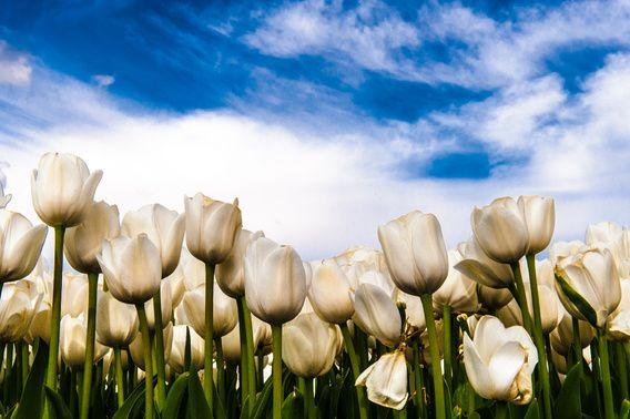 Koop 'Witte tulpen tegen blauwe lucht' van Brian Morgan voor aan de muur.