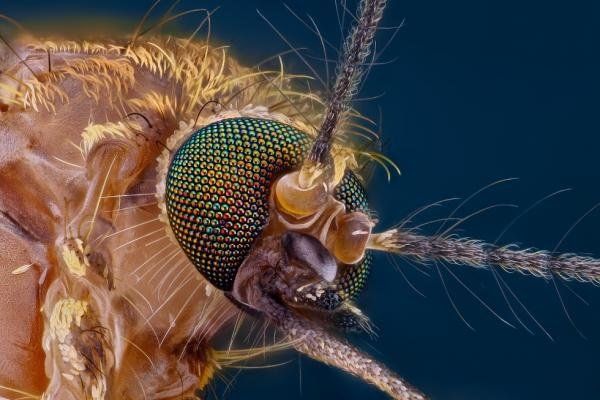 17 best images about electron microscope images insects for Mosquito fish facts