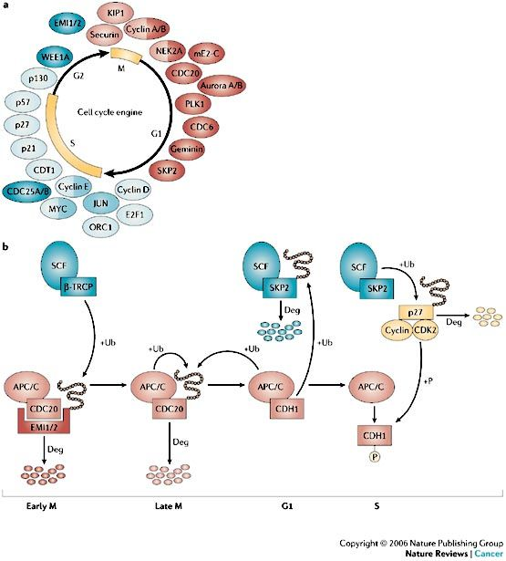 In early M phase, SCFbeta-TRCP recognizes the phosphorylated APC/CCDC20 inhibitors EMI1 and EMI2, causing their degradation and an increase in APC/C activity. In late M phase, CDC20 is ubiquitylated, and therefore degraded, by APC/CCDH1 or by itself, leading to the transition from APC/CCDC20 to APC/CCDH1. CDH1 recognizes the D box of SKP2 and induces its degradation, resulting in low SCF complex activity and the accumulation of cyclin-dependent kinase inhibitors (CKIs) such as p27.