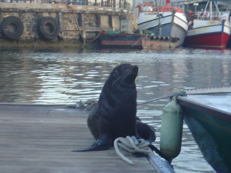 Seal at the Waterfront in Cape Town.