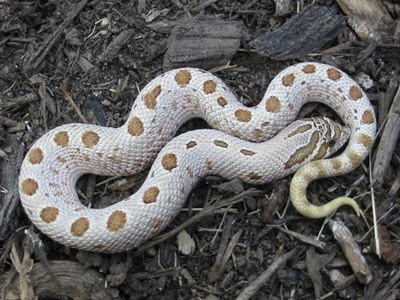 Anaconda Hognose Snake  Photo from Superconda