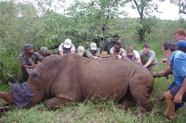 Magnificent rhino!