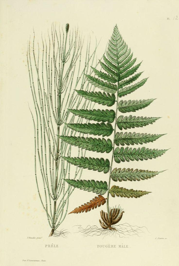 gravures plantes - gravures plantes - 0263 fougere male - Gravures, illustrations, dessins, images