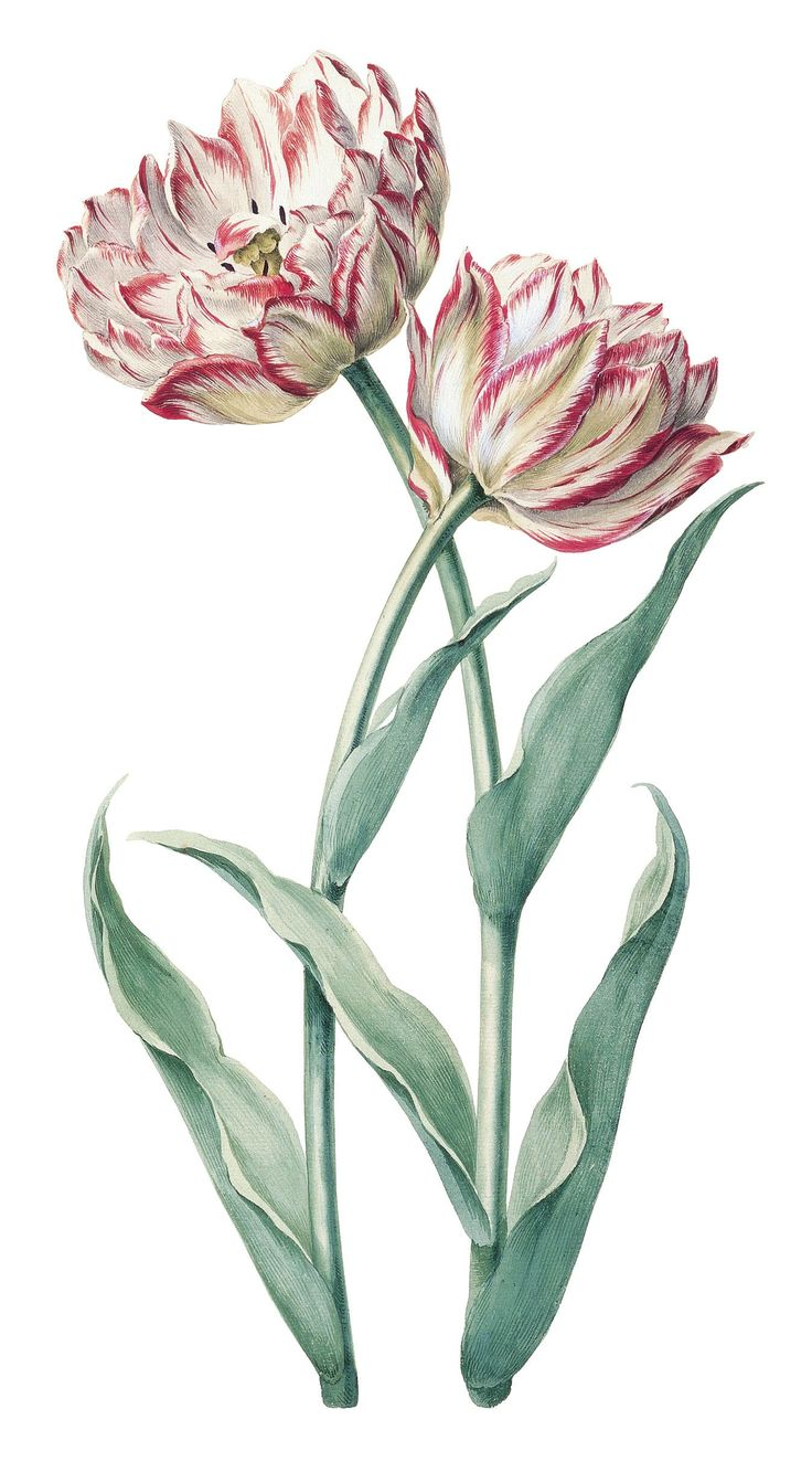 An early 18th century drawing of tulip 'Prins Frederick', attributed to August Sievert, botanical illustration