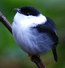 White-bearded Manakin The manakins are a family bird species of subtropical and tropical mainland Central and South America, Trinidad and Tobago.